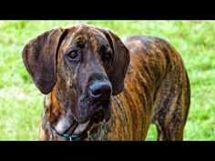 "Animal Lovers on Twitter: ""10 Funniest Great Dane Videos http://t.co/zAYqFyh53M #animals #pets http://t.co/th0YYVhhBR"""