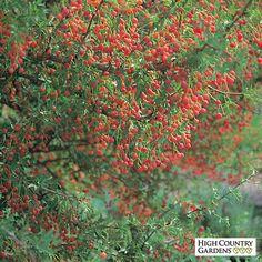 Mahonia haematocarpa, Red Berry Mahonia