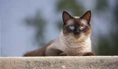 Siamese: You are a ride or die. Loyal, cool, and pretty darn cute, you're the type of person that other people run to for protection, even just emotionally. No one is going to mess with you, and frankly I'm a little frightened talking to you right now — please be nice to me.