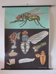 Jung-Koch-Quentell Zoology Art Print School Poster American Crayfish Anatomy