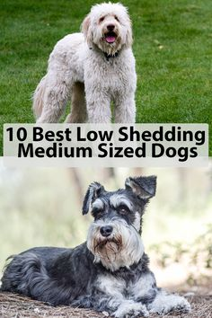 These medium sized dog breeds are low shedding, making great pets especially for allergies surfers. Low Shedding Dog Breeds, Dog Breeds That Dont Shed, Medium Sized Dogs Breeds, Rare Dogs, Irish Terrier, Companion Dog, Sleeping Dogs, Medium Dogs, Hunting Dogs