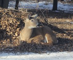 White-tailed deer survive winter cold by taking advantage of available food supplies and utilizing habitat to reduce the effects of penetrating cold. This doe found shelter from the wind in a small woodland and insulation from the frozen earth on a thick bed of dry leaves. Freedom from disturbance also reduces stress and the need for extra food. #NatureWalk #INHF http://inhfblog.org/2014/02/10/nature-walk-bedded-down/