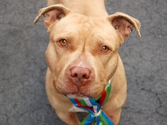 TO BE DESTROYED 4/24/13 Manhattan Center - P  My name is JERICHO. My Animal ID # is A0962190. I am a male tan pit bull mix. The shelter thinks I am about 5 YEARS old. SHARE/ADOPT/FOSTER BEFORE ITS TOO LATE FOR THIS HANDSOME BOY https://www.facebook.com/photo.php?fbid=600857326593817=a.275017085844511.78596.152876678058553=1