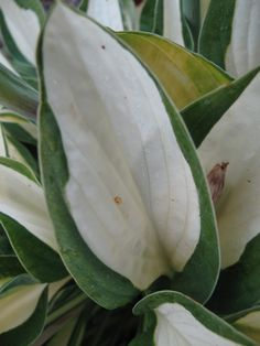 """Hosta """"Gypsy Rose""""  A sport of """"Striptease"""". Pretty hard to find though. Will take full sun and has a ton of white on the leaves."""