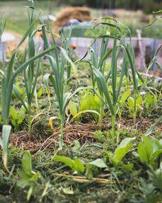 Kateviljely sopii omavaraistelijan puutarhaan - ku ite tekee