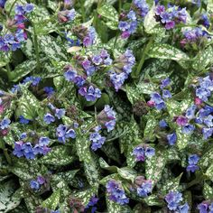 Pulmonaria is a Deer Resistant Shade Plant- get some tips for your shade garden Beautiful Flowers, Landscaping Plants, Plants, Planting Flowers, Perennials, Plant Pictures, Front Garden, Shade Plants, Shade Garden
