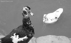 Patos en el parque.