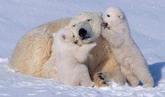 Adorable Polar Bear Cubs Play with Their Mom (VIDEO)