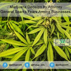 Marijuana Decision by Attorney General Sparks Fears Among Businesses.