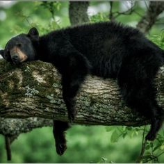 RT @NatlParksPhotos: Black Bear relaxing in Great Smoky Mountains National Park. #flow397 #smokymountains by flow397 pic.twitter.com/EHCzrrw...