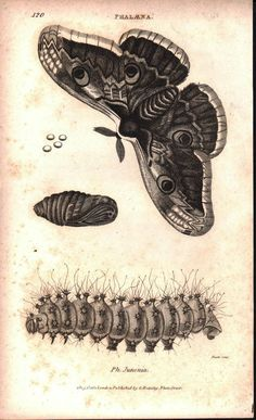 """Phalana Moth Life Cycle Print Issued: Original hand-colored engraving from """"Zoological Lectures"""" drawn engraved and published in London circa 1809 by George Shaw (1751-1813) and principal engraver Mrs"""