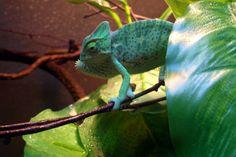 Pickles is SO mad. Veiled Chameleon