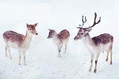 Heart deer.