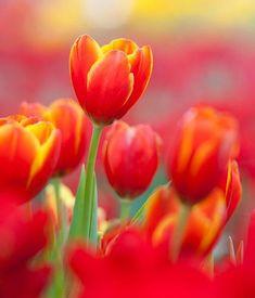 Etwas Dünger vor Beginn der Blütezeit sorgt für viele leuchtende Blüten.