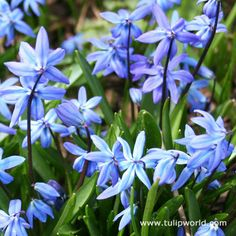 Siberian-Squill-flowers-30710133-450-450.jpg 450×450 pixels