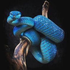 Snake Peralta --- #viper #blue #animals #nature #beauty #harmony #life #trave #photography #photoart #art #visualart