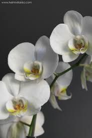 Kuvahaun tulos haulle orkidea