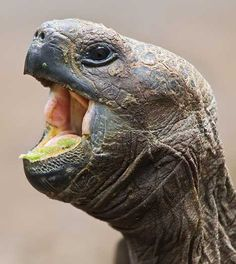 Your weary query is wasted on these 12 sleepy creatures who appear to be wide open to the prospect of a good night's rest. Animals Images, Animals And Pets, Cute Animals, Reptiles And Amphibians, Mammals, Anaconda, Kawaii Turtle, Alligators, Green Iguana