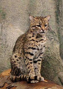 Geoffroy's cat - Wikipedia, the free encyclopedia