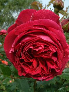 Falstaff (Ausverse) - David Austin English Roses - Old Garden Roses - Rose Catalog - Tasman Bay Roses - Buy Roses Online in New Zealand