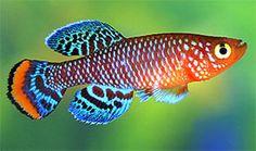 Nothobranchius rachovii - Bluefin Nothobranch killifish