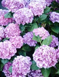 Lacecap hydrangea (Hydrangea macrophylla), also known as big-leaf hydrangea,  produces large, attractive blue or pink flower clusters  and large jagged-edged leaves. With proper care the shrubs can grow up to 6 feet tall and wide and bloom from July through August in U.S. Department of Agriculture hardiness zones 6 though 9. They make excellent additions to the landscape as foundation plants, specimen plants, shrub borders and even ideal for seaside planting.