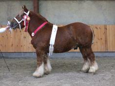Jutland - stallion Kalle