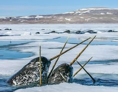 Elusive Narwhals in the Canadien Arctic. Photo taken by Paul Nicklen Fast Crazy Nature Deals. Wale, Arctic Animals, Water Life, Great White Shark, Animals Of The World, Marine Life, Sea Creatures, Animal Photography, Nature Photography