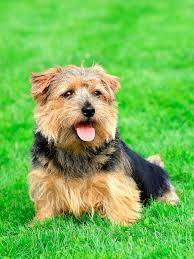 Billedresultat for norfolk terrier