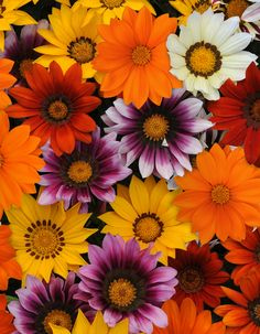 New Day Gazania from PanAmerican Seed