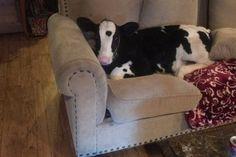 #Wow Ella es Goliath, la vaca que se cree un perro (Fotos)