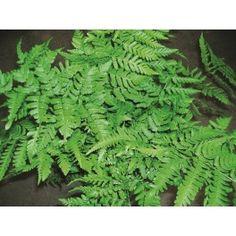 LUNDBRÄKEN ormbunke 1-PACK Abs, Garden, Crunches, Abdominal Muscles, Lawn And Garden, Gardens, Killer Abs, Outdoor, Home Landscaping