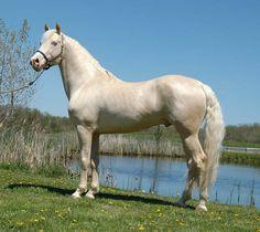 Handsome Morgan! - Cremello, Perlino and Smoky Cream Morgan Horses