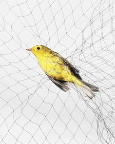 Ruffled Feathers: Recording Birds Caught in Nets - LightBox