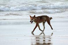 Dingo - on Fraser Island - Queensland