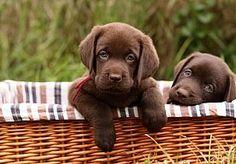 1-Apr-2013 10:33 - ALLE NIEUWE HONDEN VERPLICHT EEN CHIP. Alle pasgeboren puppys en ingevoerde honden moeten vanaf vandaag verplicht worden gechipt. Dit moet illegale handel en dierenmishandeling tegengaan.