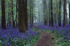 "ingelnook:  "" Bluebells in Dockey Wood by Davo77  """