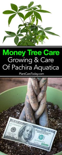 """Money tree care - [Pachira aquatica] """"good luck plant"""", easy to grow indoors in indirect sunlight. Braided, bonsai popular with Feng Shui [DETAILS] Money Tree Plant Care, House Plant Care, Best Indoor Plants, Cool Plants, Inside Plants, Outdoor Plants, Potted Plants, Bonsai Tree Care, Bonsai Trees"""