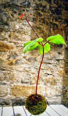kokedama & co.:  succulent