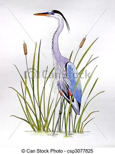 Stock Illustrations of Great Blue Heron - Ardea herodius Hand ...