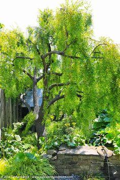 Maytenus boaria 'Green Showers'