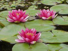 Um pouquinho do Japão.: Lótus Seu significado vem de pureza do corpo e da ...