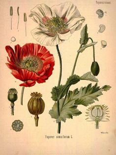 Poppy botanical print