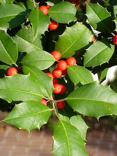 American Holly- Ilex opaca Loved by birds and surprisingly shade tolerant. A great windbreak plant