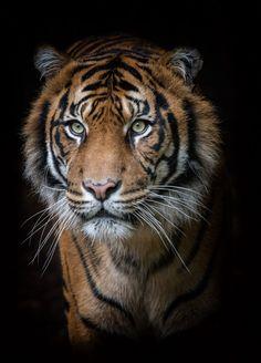 Sumatran tiger by David Whelan on Tigre de Sumatra por David Whelan en 500 px Beautiful Cats, Animals Beautiful, Tiger Fotografie, Art Tigre, Animals And Pets, Cute Animals, Wild Animals, Baby Animals, Tiger Artwork