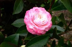 Green Nurseries - CAMELLIAS
