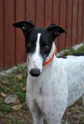 LW's Franny is an adoptable Greyhound Dog in Fort Lauderdale, FL. Basic Information: Racing Name: LW's Franny, Kennel Name: Franny, Color: White w/Black Ticking, DOB: 3/7/09, Weight: 58 lbs.  LW's Fra...