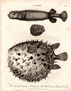 Fantastic Antique Original Puffer Fish Print Steel Engraving over 200 years old 1800s Weird Scary Mole Orbicular Plumier Diodon Bottle Fish by TheLotAntiquesandArt
