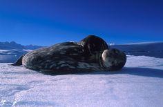 Weddell Seal | Franco Banfi | Oceanwide Expeditions