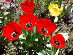Tulipanes rojos en flor #primavera #flores #SinFiltros